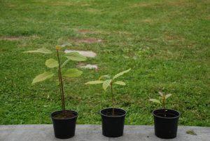 plantacion de aguacates
